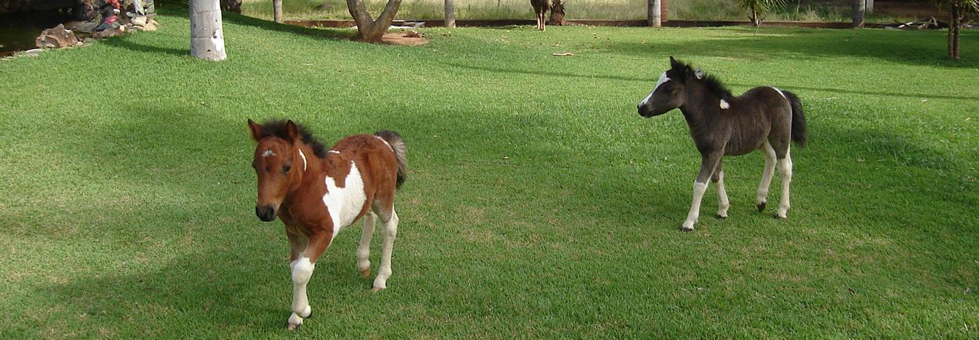 Mini-Horses...