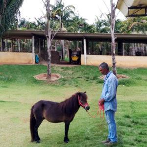 pônei-mini-horse-fêmea
