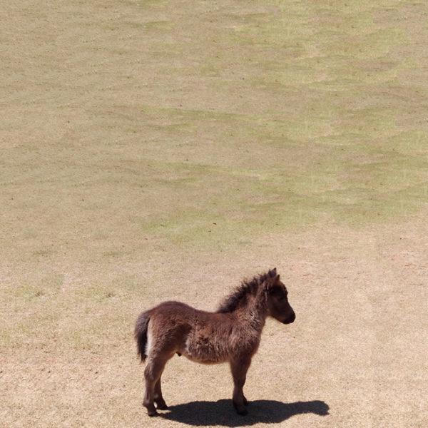 poneis-mini-horse-18ss