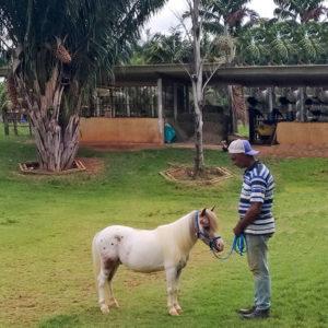 pôneis-mini-horse-macho